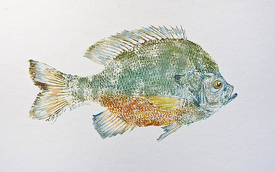 Freshwater Bluegill by Nancy Gorr