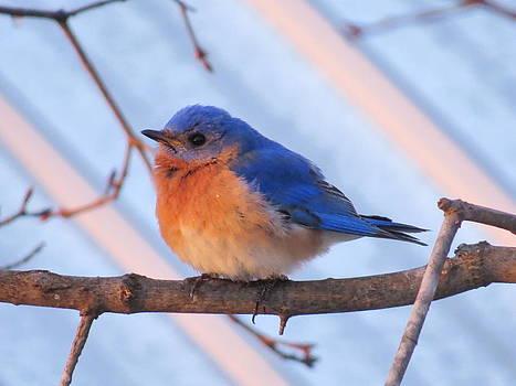 Friendly Bluebird by David Lankton