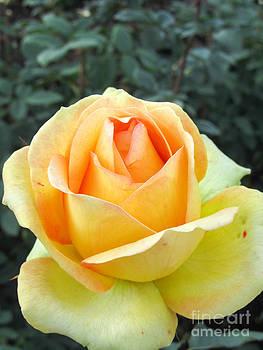 Jaclyn Hughes Fine Art - Friendship Rose