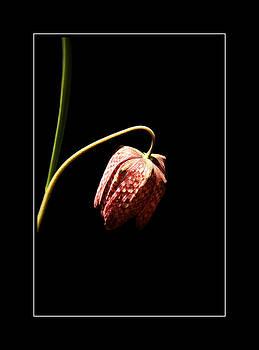 Fritillaria meleagris  by Rosanna Zavanaiu