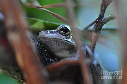 Wayne Nielsen - Frog Eye Tree Hidden