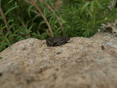 Frog On Rock by Corina Bishop