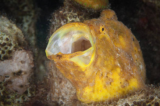 Frogfish by J Gregory Sherman