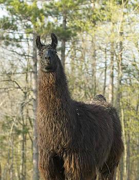 Devinder Sangha - Front facing Alpaca