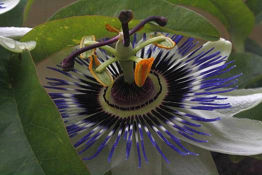 Tracey Harrington-Simpson - Front View of Beautiful Passiflora Flower
