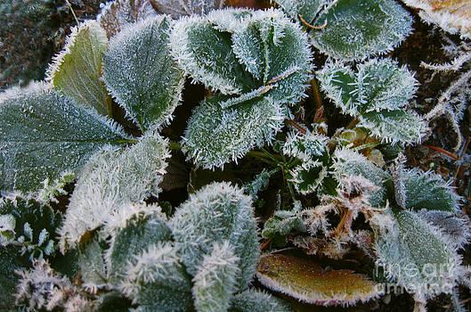 Ellen Miffitt - Frost coated Strawberry Plants