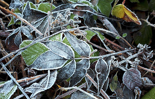 Frost covered leaves by Dawn Gilfillan