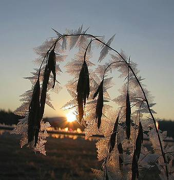 Frosted Cheatgrass by Doug Fredericks