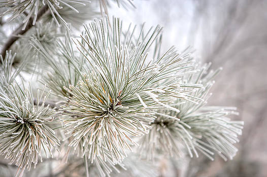 Frosted Pine Needles by James O Thompson