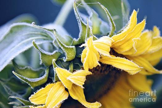 Alanna DPhoto - Frost Tipped Sunflower