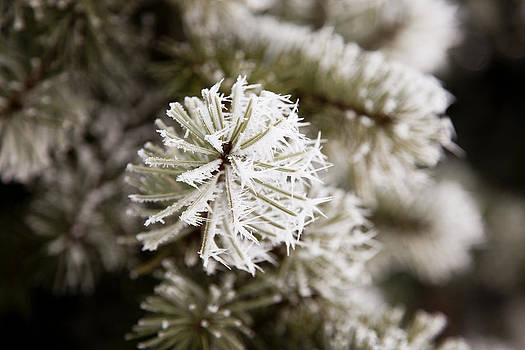 Frosty Fir by Crystal Cox