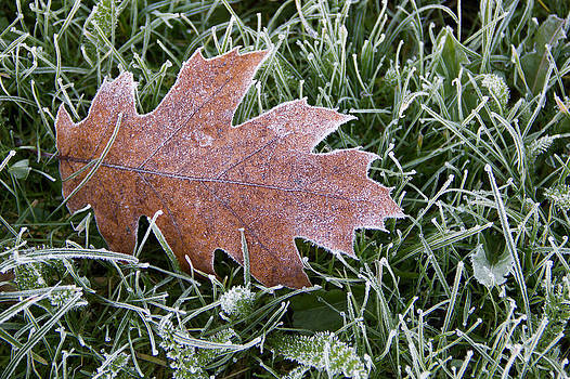 Frosty Leaf by Chris  Clark