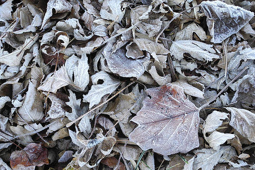 Daniel Kasztelan - Frosty Leaves