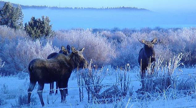 Frosty Moose by Robert Taylor