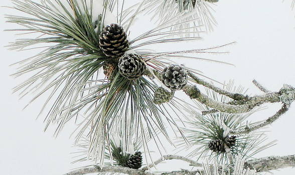 Frosty Pine Cones by Carolyn Reinhart