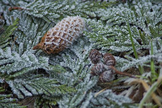 Frosty Pine by Joel Moranton