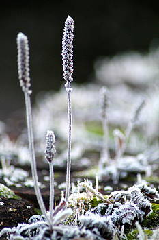Frosty Weed by Karen Grist