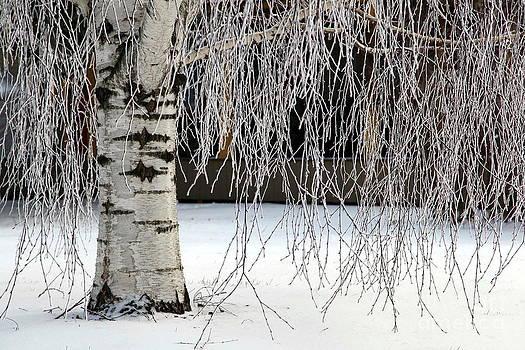 Sophie Vigneault - Frozen Birch Tree