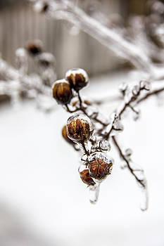 Frozen Blossoms by Cassandra NightThunder