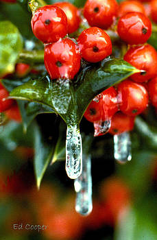 Frozen Holly Berries by Ed Cooper