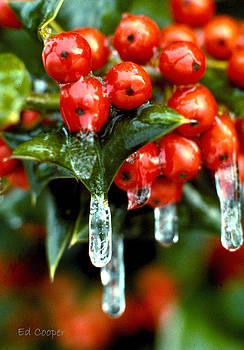 Frozen Holly by Ed Cooper