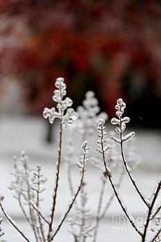 Frozen Lagerstroemia 1 by Elizabeth Matlock