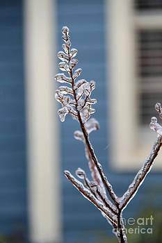 Frozen Lagerstroemia 2 by Elizabeth Matlock
