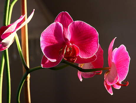 Fuchsia Orchid in the Sun by Dana Moos