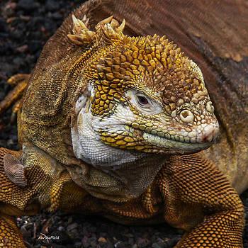 Allen Sheffield - Galapagos Land Iguana