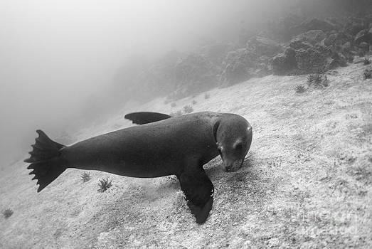 Galapagos Sea lion underwater by Sami Sarkis