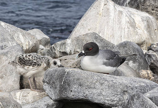 Angela A Stanton - Galapagos Seagull and Her Chick