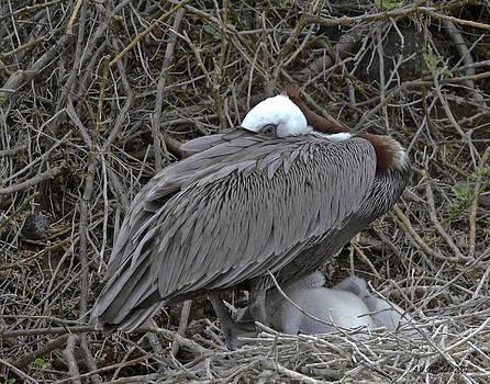 Allen Sheffield - Galapagos - Watchful Pelican