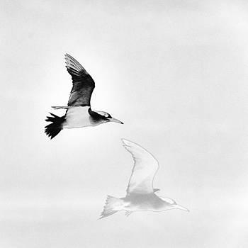 Gannet by Alfredo Machado