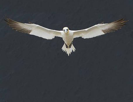 Gannet I by Bob Falconer