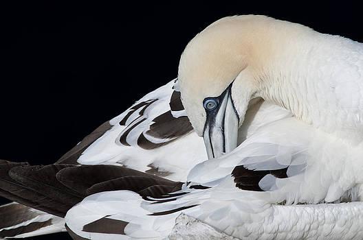 Gannet preening by Bob Falconer
