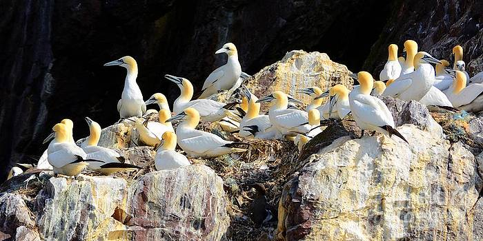 Gannets on Bass Rock by Gisela Scheffbuch