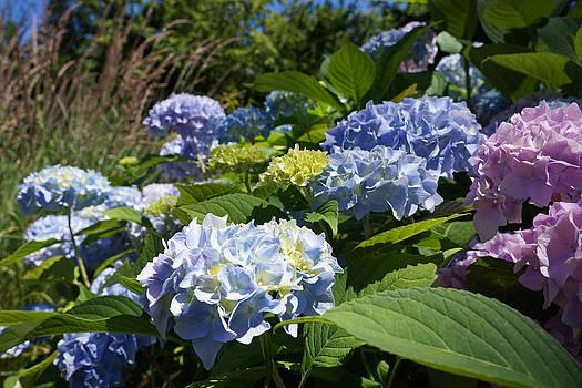 Baslee Troutman - Garden Art Prints Blue Pink Hydrangea Flowers