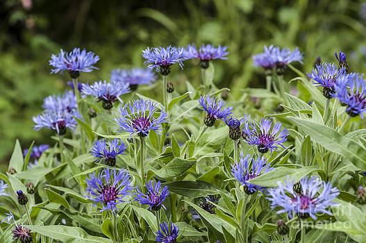 Garden Cornflowers by Donald Davis