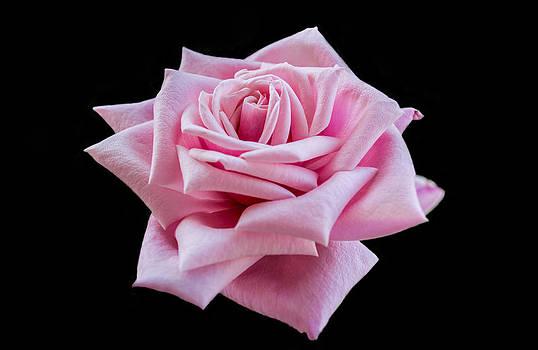 Garden Rose by Garvin Hunter
