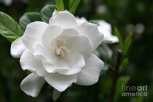 Jill Lang - Gardenia Bloom
