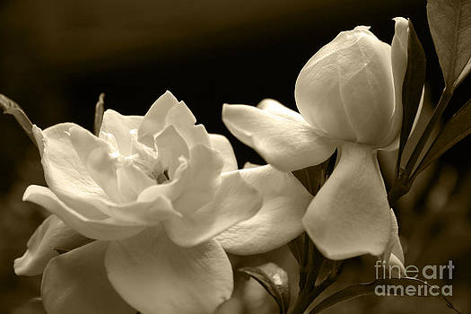 Jill Lang - Gardenia Blooms in Sepia