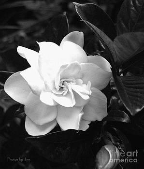 Gardenia Blossom  by Jinx Farmer
