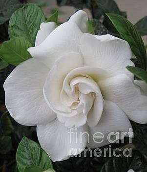 Gardenia by Donna Cavender