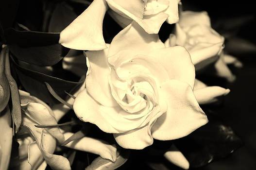 Gardenias by Tara Miller