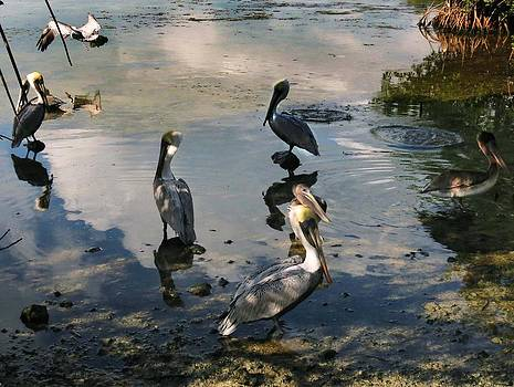 Gathering of the Pelicans by Bill Marder