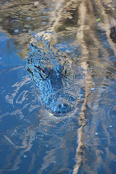 Gator Blue by Mike Wilber