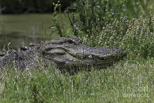 Tim Moore - Gator in the Grass