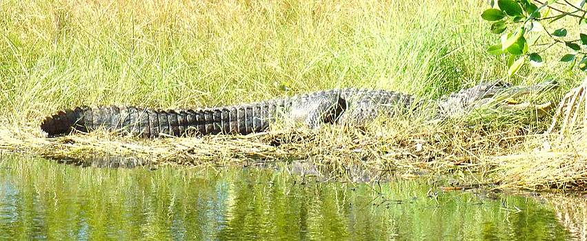 Gator in the Grass by Van Ness