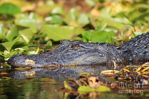 Gator Stare by Andre Turner
