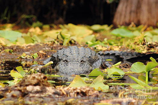 Gator Stare II by Andre Turner